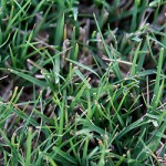 Learn how to care for bermuda grass lawns