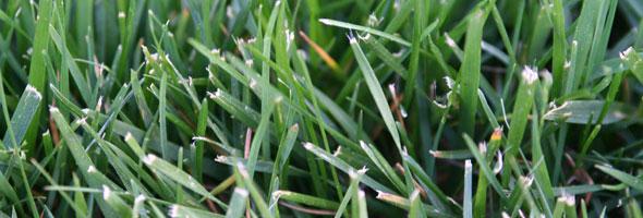 Fescue Grass Closeup