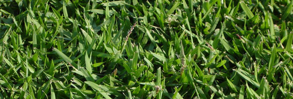 Zoysia Grass