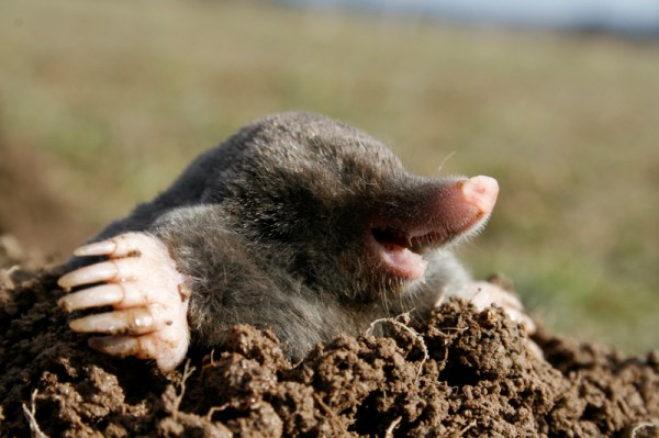 Whack A Mole Get Rid Of Moles In Your Lawn